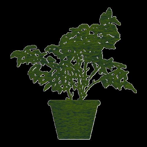 Ficus 1,15m x 1,20m